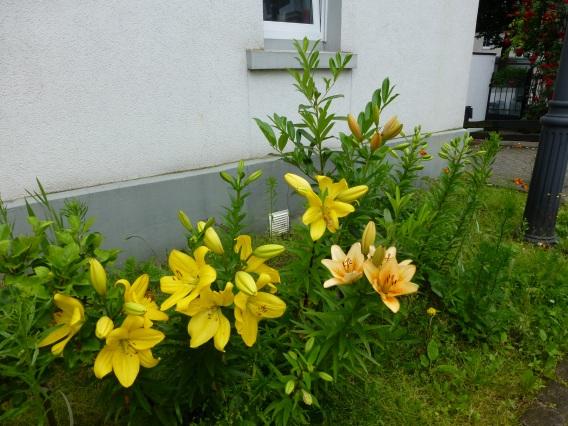 Menden, Straßenbeet mit Lilien