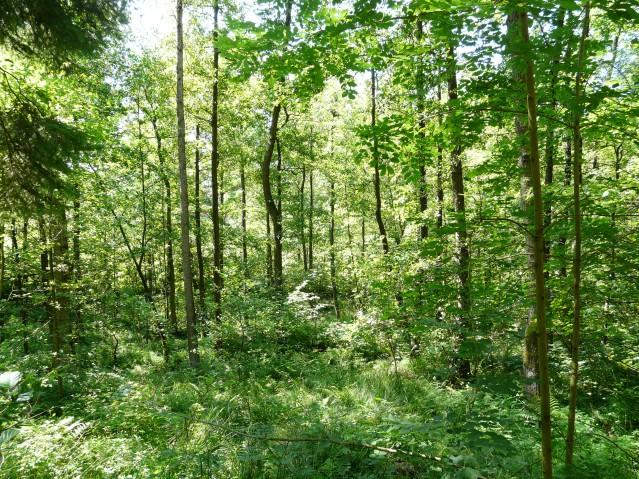 Menden, unterwuchsreicher Wald im oberen Wannebachtal