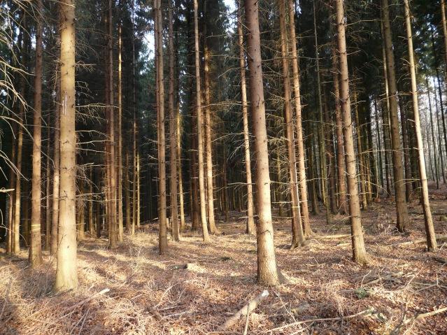 Menden, Fichtenforst im Lahrwald