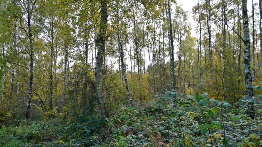 Menden, Birkenwald am Haunsberg
