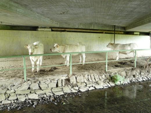 Kühe unter Straßenbrücke, 21.06.08