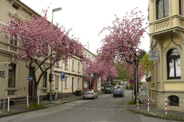 Zierkirschenblüte an der mittleren Kaiserstr.
