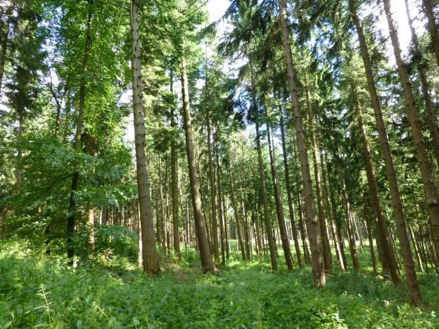 Fichtenmischwald