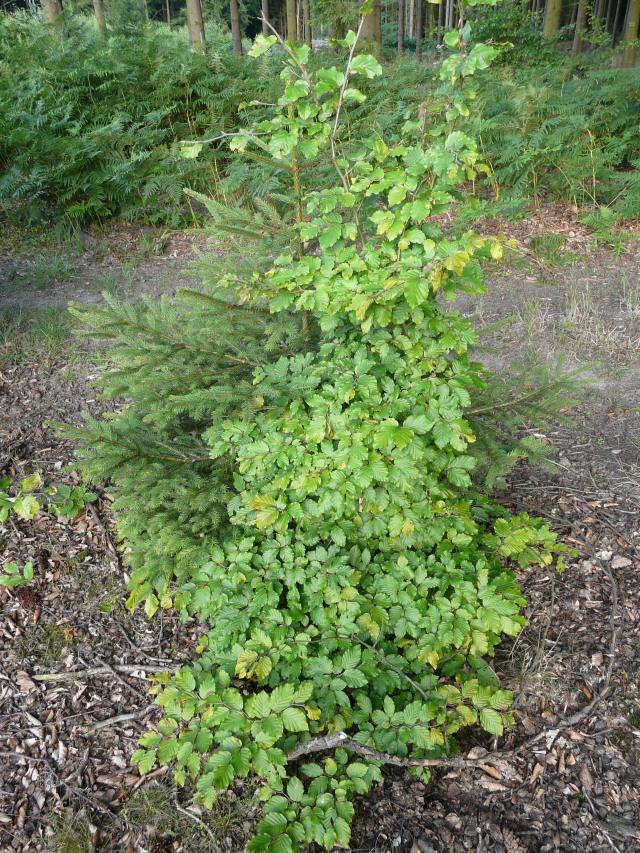 die zwei wichtigsten Baumarten im Sauerland: Rotbuche und Fichte