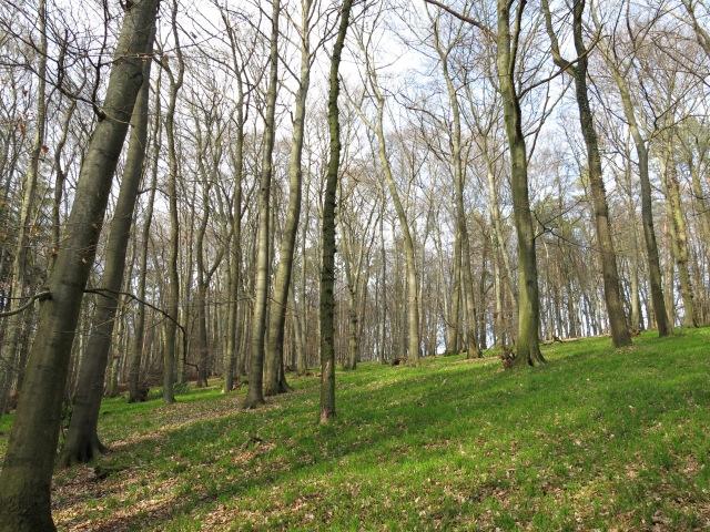 Buchenmischwald in der westlichen Große Haar