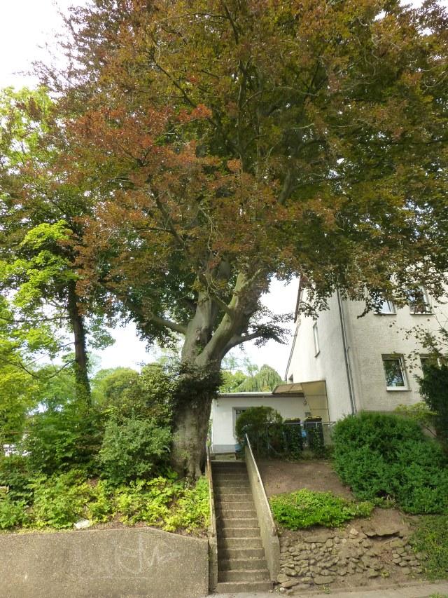 Treppe von Werringser Str. zum Kath. Friedhof mit großer Blutbuche