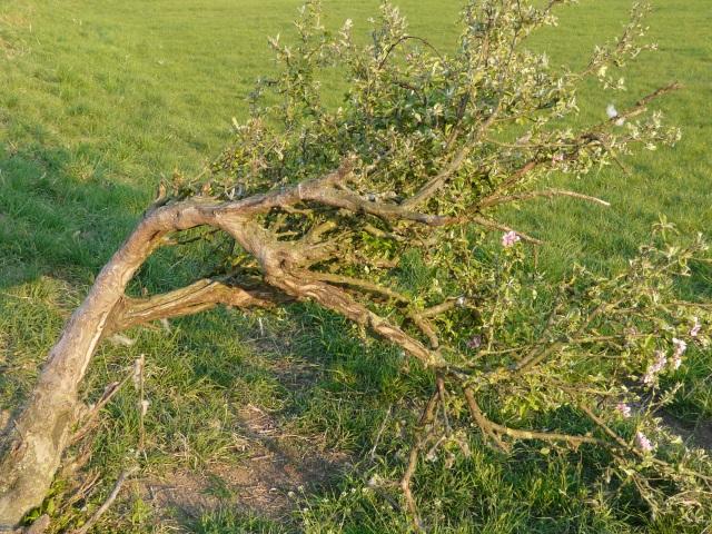 flach wachsender, zwergstrauchartiger Apfelbaum zwischen Hengstspring und Saurenkamp