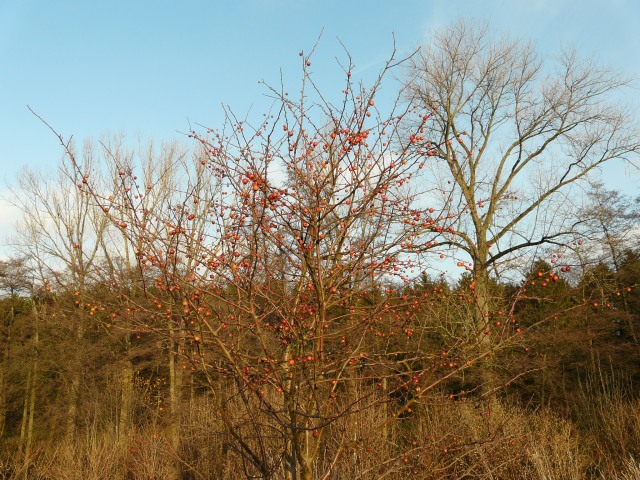 Wildapfelbaum zwischen Stuckenacker und Plattheidersiepen